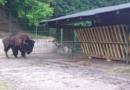 U Pionirsku dolinu stigli američki bizon, berberske ovce, mare i rakuni