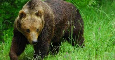 JESEN JE, U POTRAZI ZA HRANOM:  Medvjedi i vukovi opasno se približavaju kućama