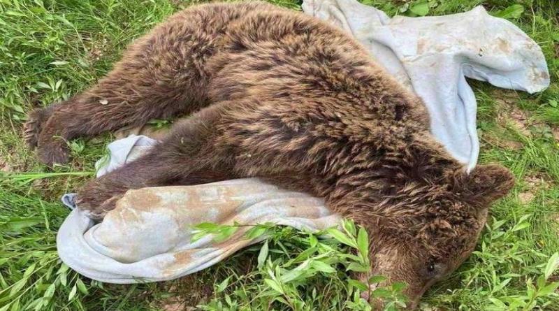 TUŽNA VIJEST: Uginula medvjedica pronađena na kamenolomu kod Kreševa