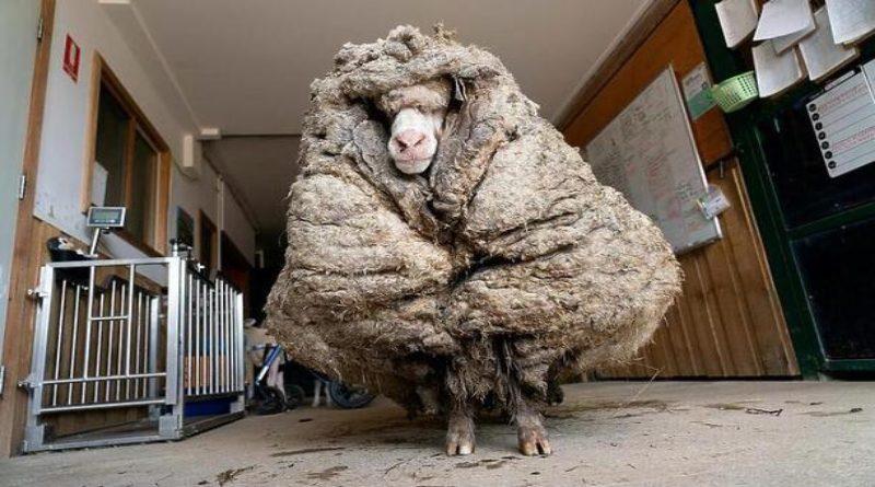 U australskoj šumi pronađen ovan na kojem je bilo 35 kilograma runa